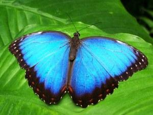 bluemorphopixabay